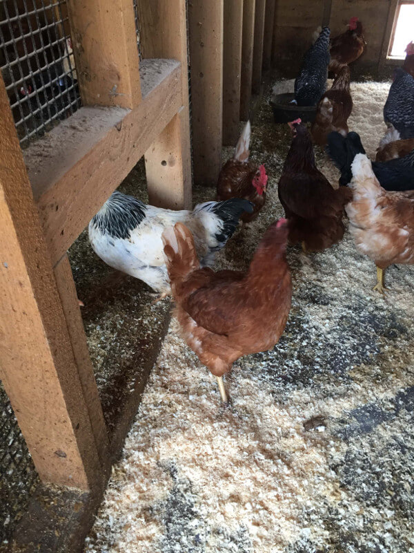 chickens-in-barn.jpg